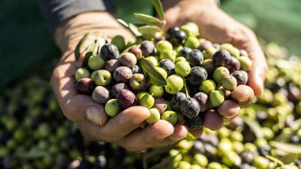 Por qué jamás deberías comerte una aceituna recién cogida del árbol