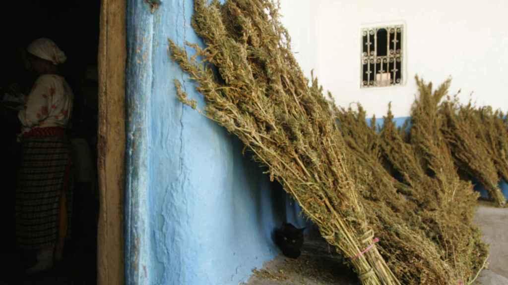 Plantación de cannabis en el Rif.