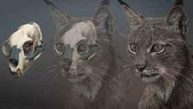 Cráneo original restaurado digitalmente (izquierda) y recreación del aspecto en vida (derecha) del ejemplar de Lynx pardinus de Ingarano.
