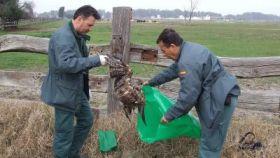 Agentes del SEPRONA recogen los restos de un ave envenenada.