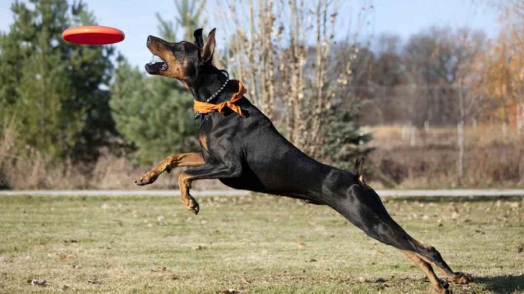 Los 10 perros más inteligentes del mundo.