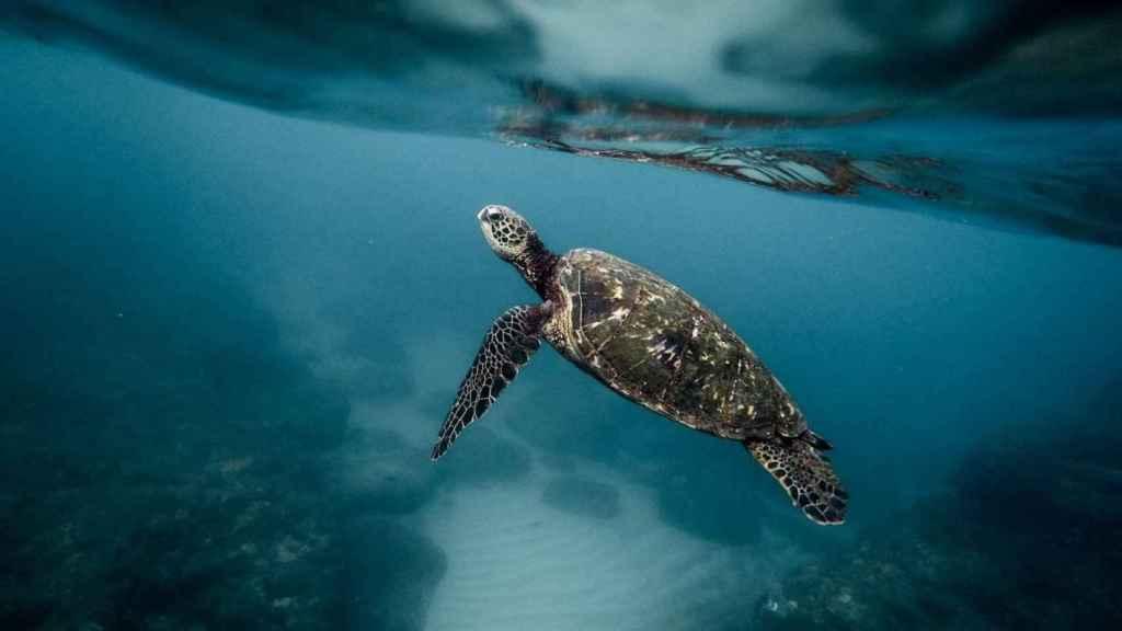 Las tortugas verdes realizan círculos antes de llegar a sus destinos. / Pixabay