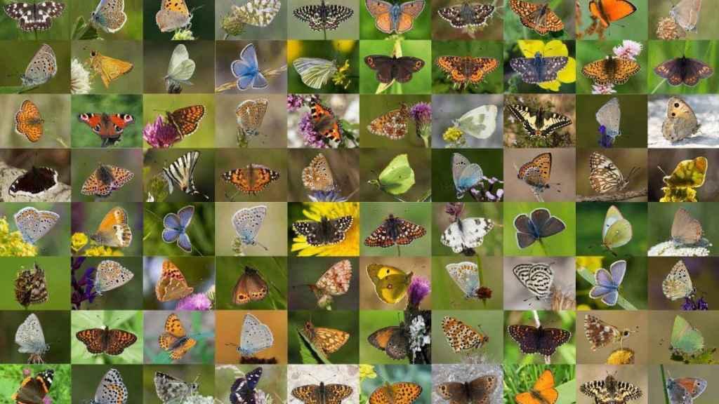 Imagen compuesta con algunas de las mariposas incluidas en la base de datos genética.