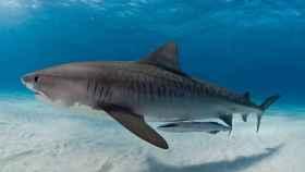 Los tiburones tigre modernos pudieron surgir hace unos 13,8 millones de años, mucho antes de lo que se creía.