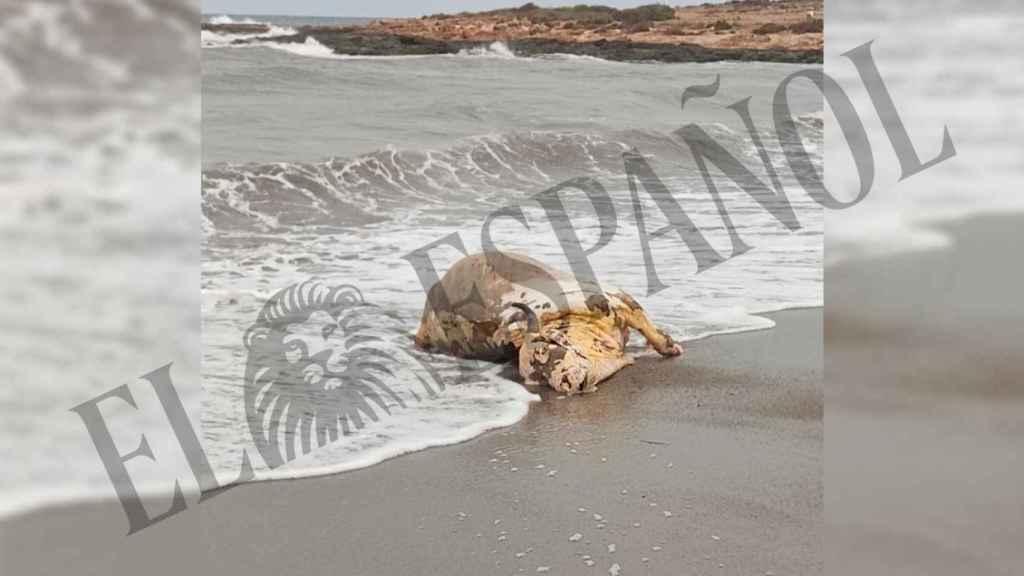 Aparece un ternero muerto en una playa de Águilas.