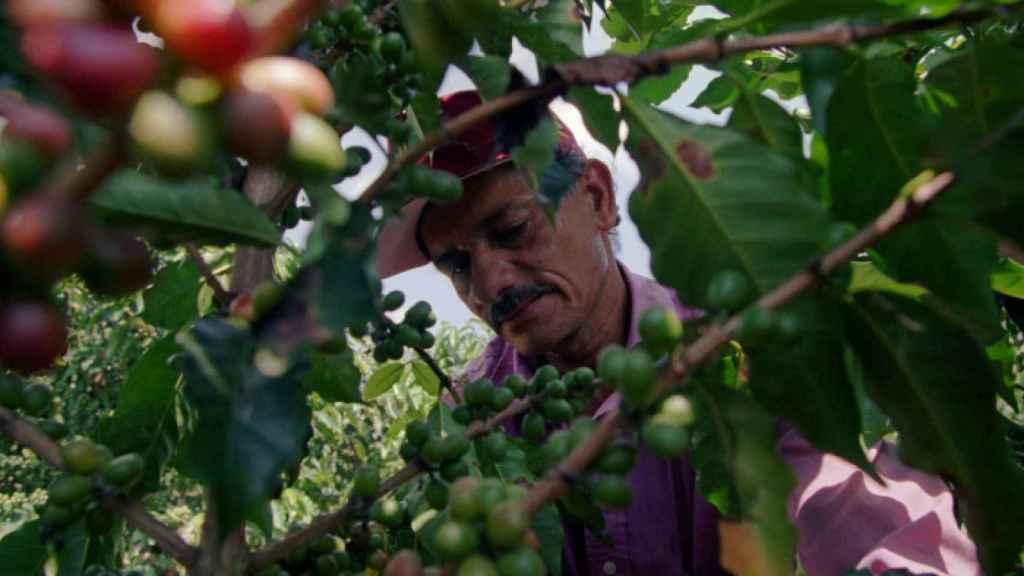 Plantaciones de café en Colombia.