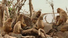 Un grupo de macacos sentados y acicalándose en isla Cayo Santiago, en Puerto Rico, en mayo de 2018.