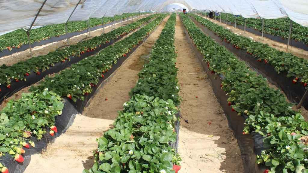 Cultivo de fresas.