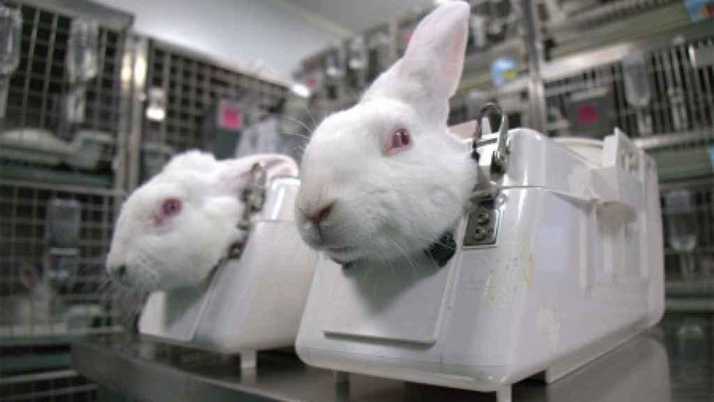 Conejos utilizados por el laboratorio para experimentos.