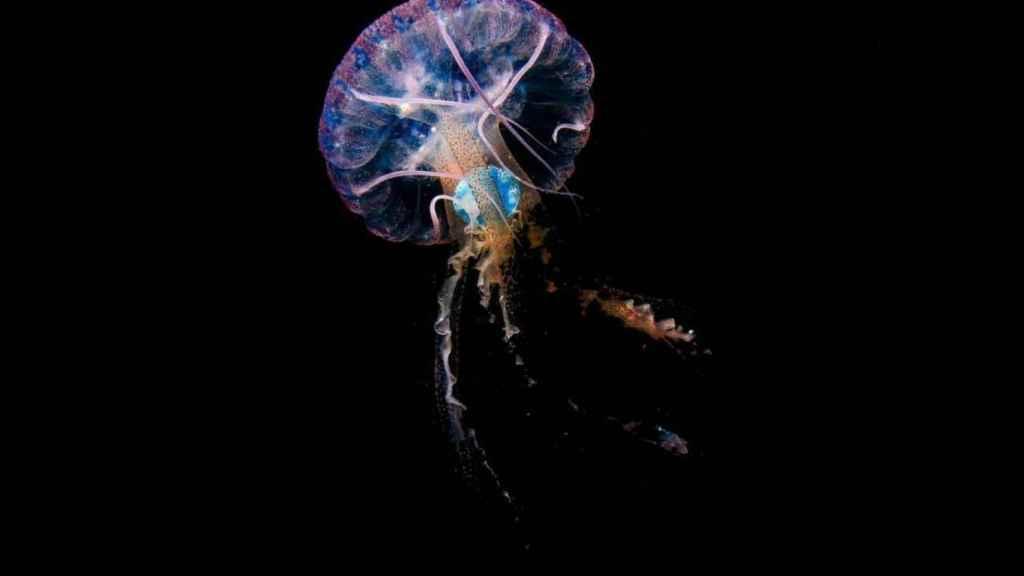 Pelagia noctiluca con un plástico azul en su interior, tomada en mayo de 2020 en aguas de Sardina del Norte, Gran Canaria.