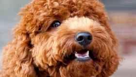 Imagen de archivo de un perro de agua
