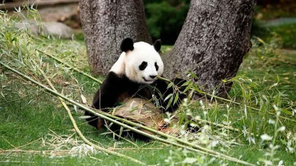 Hua Zui Ba, en una imagen facilitada por Zoo Aquarium.