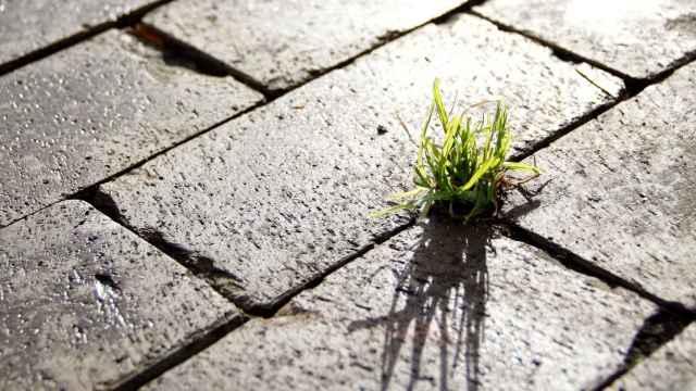 Un poco de hierba crece entre adoquines en una calle.