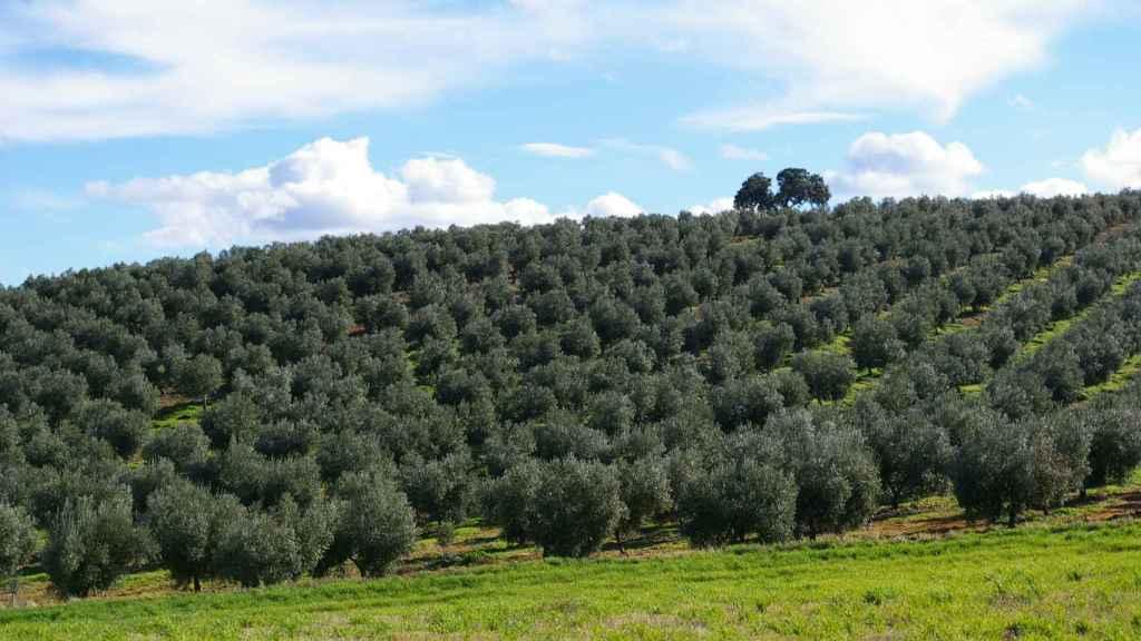 Las 120 hectáreas de olivos de la empresa Finca La Pontezuela, en Los Navalmorales (Toledo).