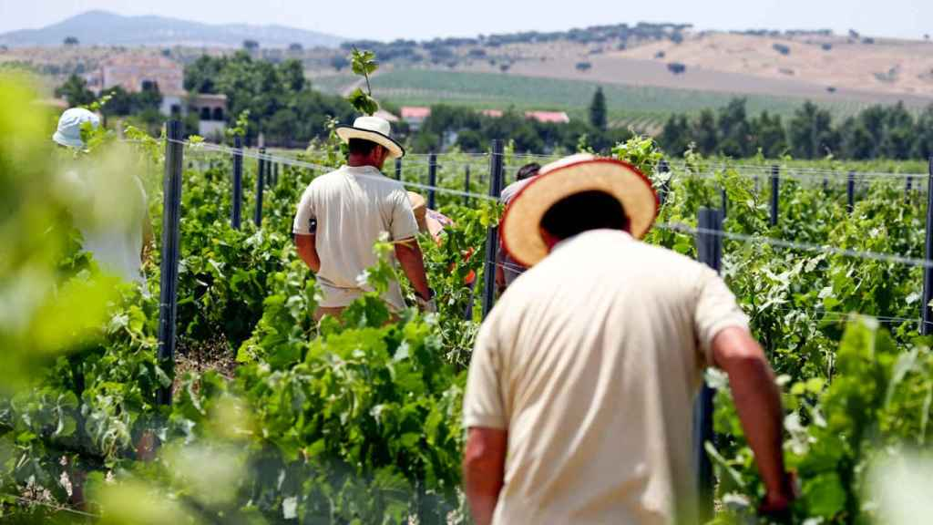 Vendimia manual en los viñedos de Bodegas Habla.
