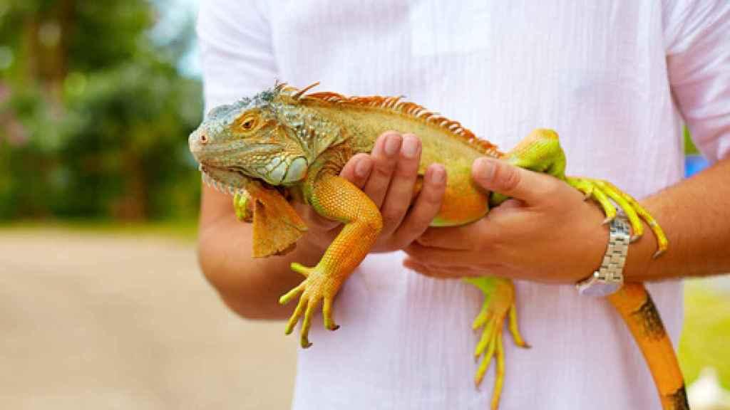 ¿Son las iguanas animales de compañía?