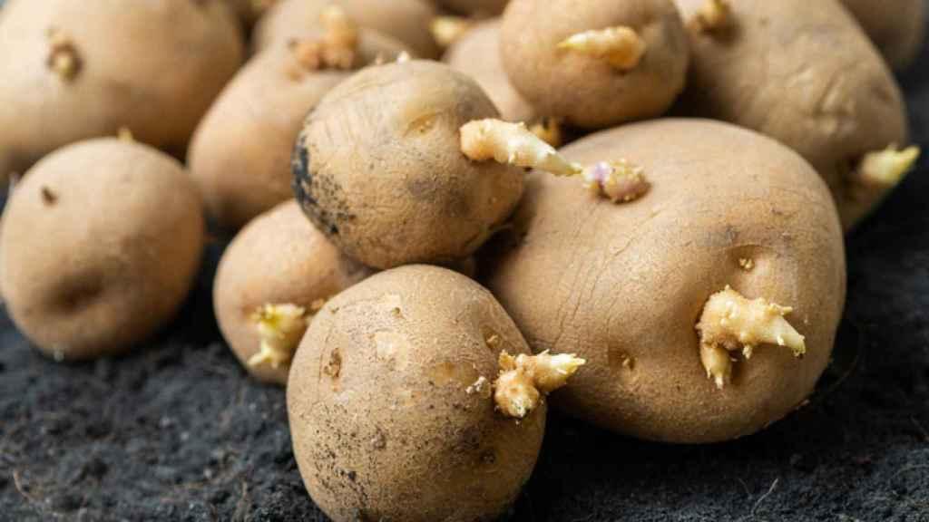 ¿Cómo conservar las patatas y evitar que germinen?