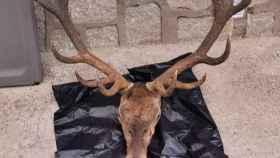 Cabeza de ciervo interceptada en la localidad toledana de La Iglesuela. Foto: GUARDIA CIVIL