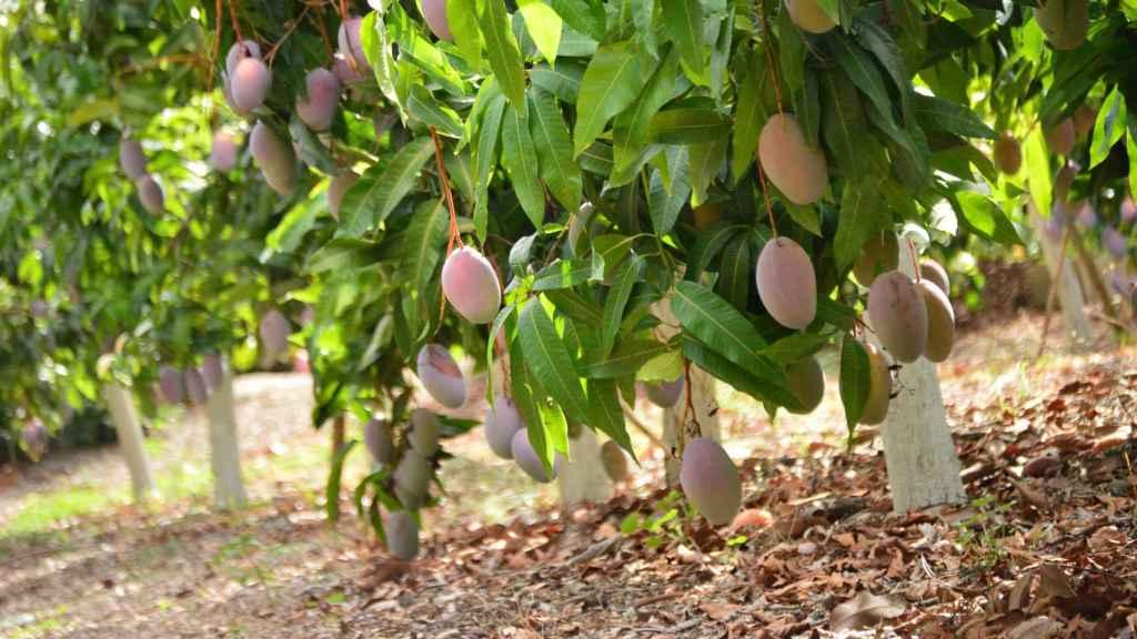 Producción del mango de Trops.