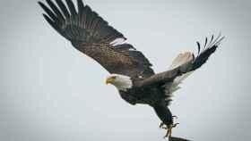 Cuál es el significado del águila como animal de poder