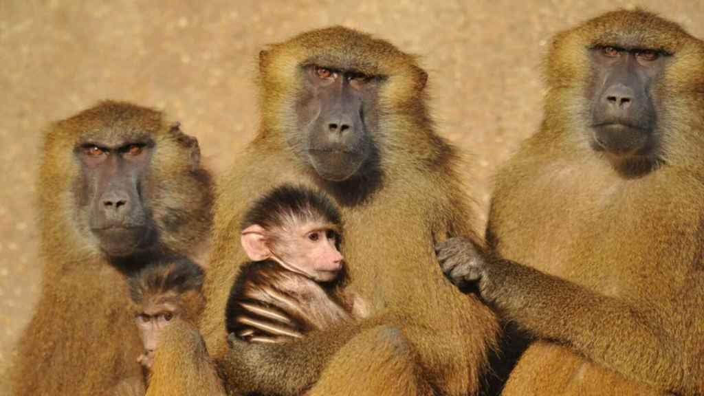 Un grupo de babuinos.