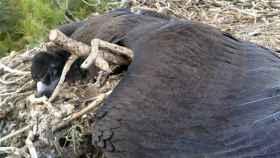 El buitre negro intoxicado por diclofenaco yace muerto en su nido, con el emisor GPS que porta visible.