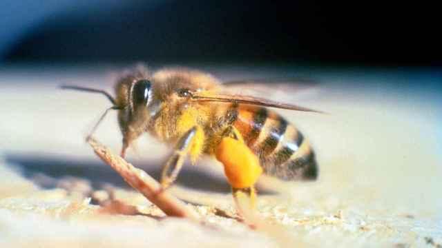 Los 10 insectos más venenosos del mundo