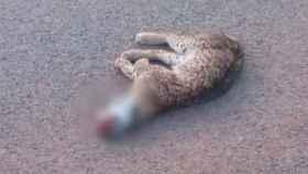 Una imagen del cuerpo de Racha, la lincesa atropellada en la carretera CR-6111
