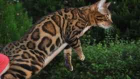 Estas son las razas de gatos que no dan alergia