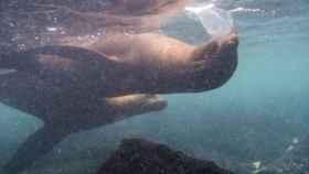 Leones marinos jugando con plásticos en aguas de las islas Galápagos.