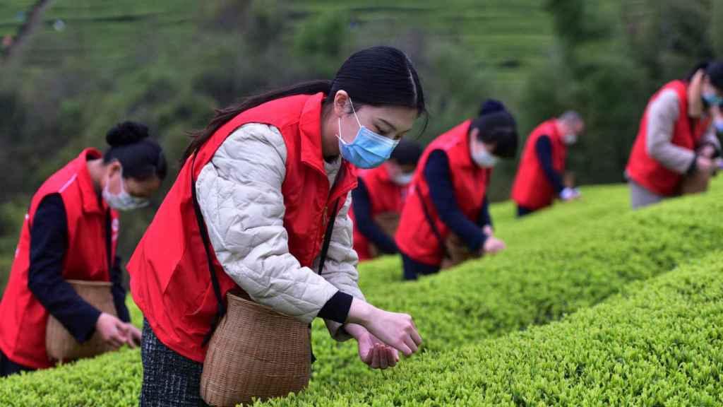 Voluntarias ayudando en los cultivos de té chinos.