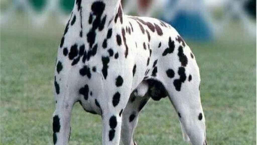Estas son las razas de perros blancos y negros