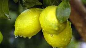 Limones en un campo.