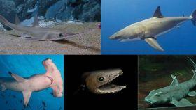 Algunas de las especies actuales de tiburón.
