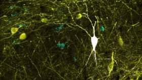 Neurona inhibidora del hipocampo registrada y teñida in vivo (en blanco).