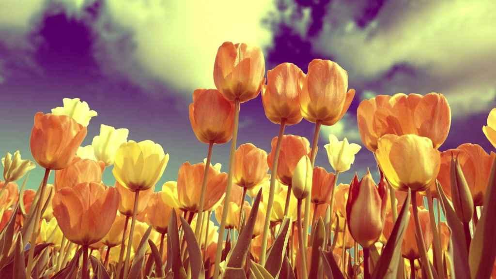 Un campo de tulipanes en una imagen de archivo.