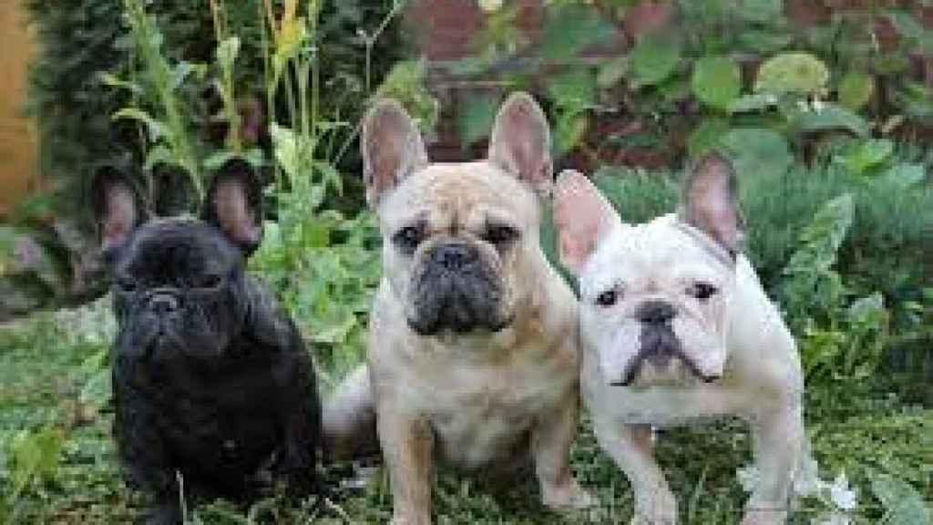 Las razas de perros más sensibles al calor