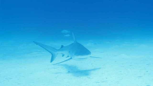 Tiburón gris de arrecife (Carcharhinus amblyrhynchos)