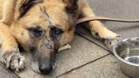 Un perro maltratado descansa en una protectora.