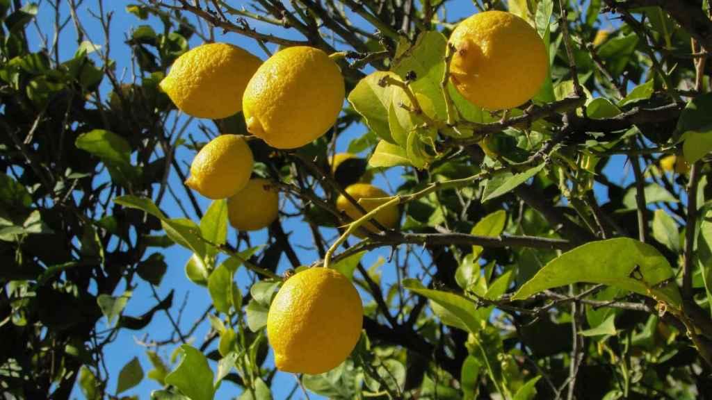 La exportación de limón alicantino ha caído en un 11 % con respecto a su valor.