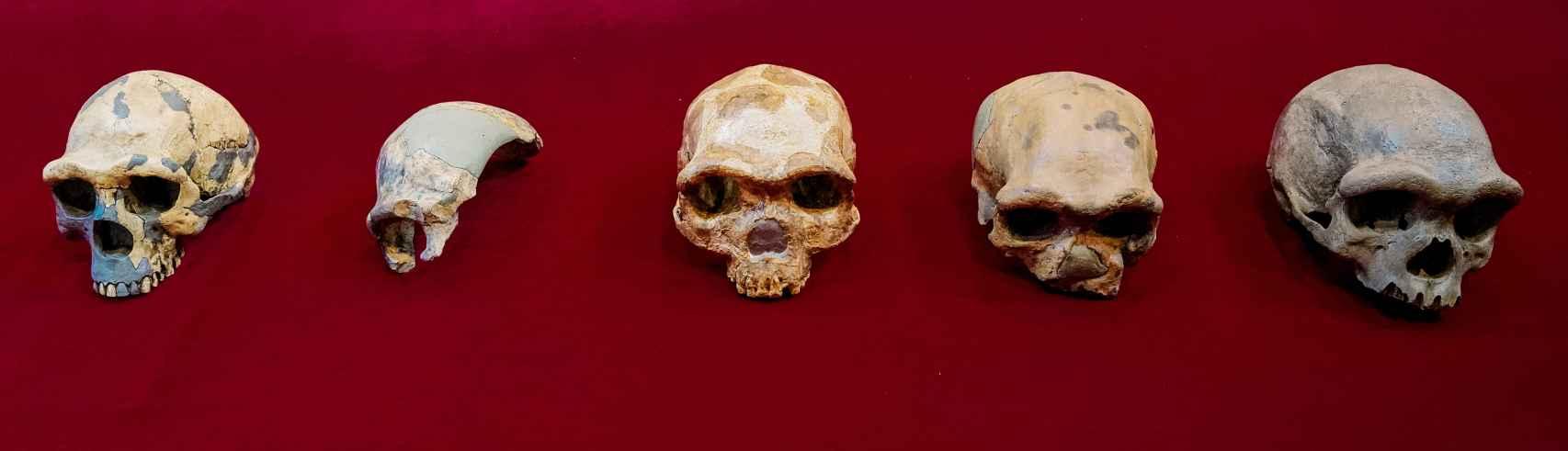 El cráneo de Harbin, en el extremo de la derecha, comparado con otros fósiles conservados en China.