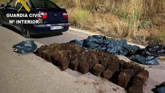 Desmantelada una plantación ilegal