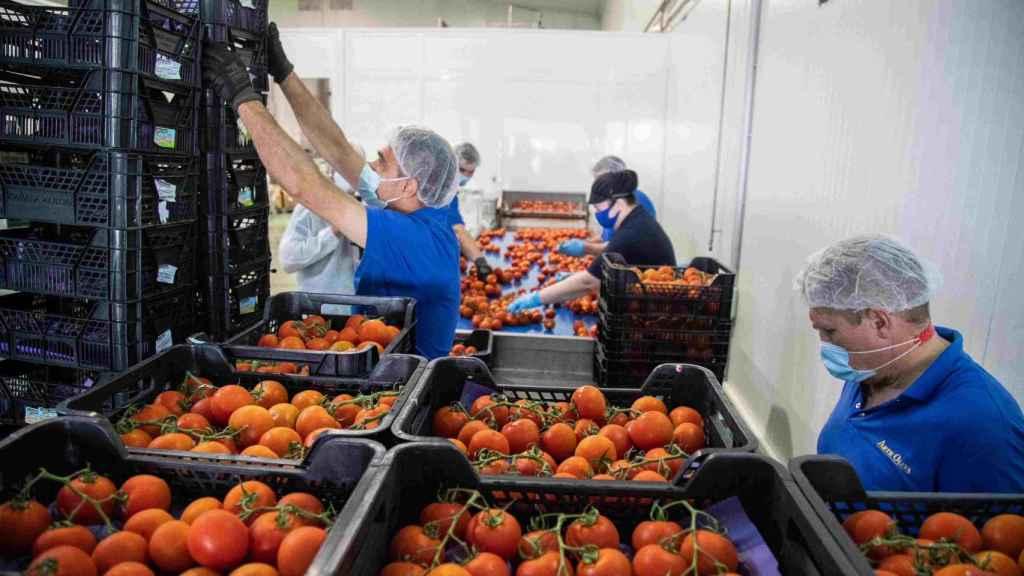Proceso de selección de tomates en la fábrica de Artesur en Palma del Río, Córdoba.
