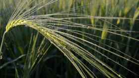 Cuando está verde, la cebada puede ayudarnos a mantener una buena salud.