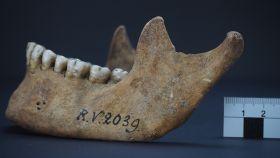 Mandíbula del hombre enterrado Riņņukalns hace unos 5.000 años.