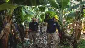 Asprocan asegura que España abandona al plátano de Canarias en favor de la banana