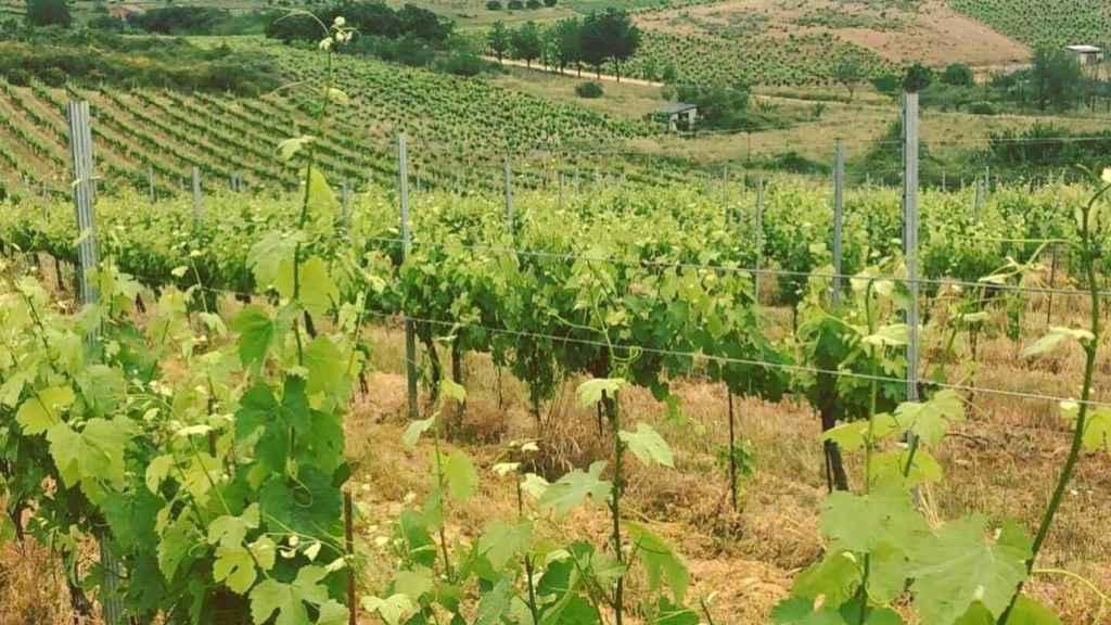 Viñedo de Losada Vinos de Finca en El Bierzo.