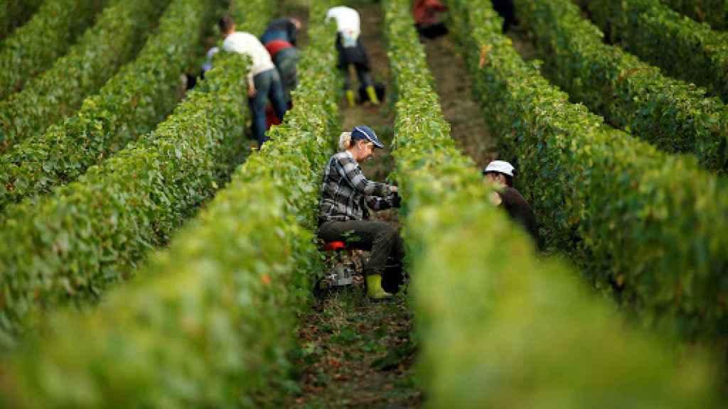 Vendimia manual en los viñedos de la Champaña.
