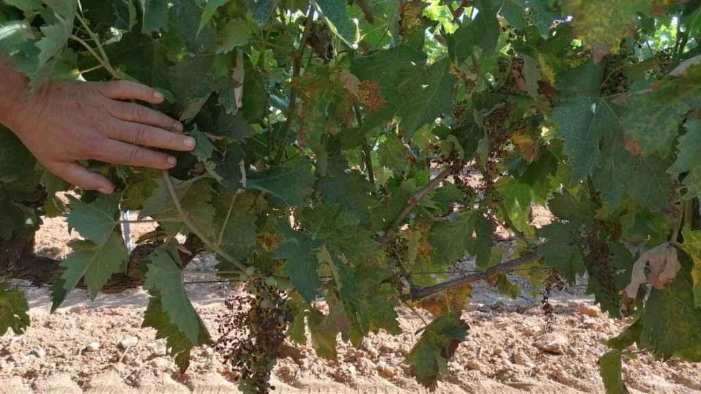 Una viña afectada por el mildiu