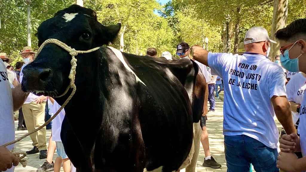 Protesta del sector de vacuno de leche en Sevilla.